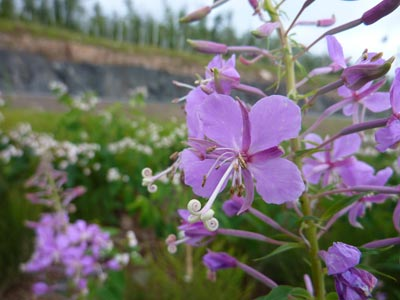 Fireweed: The End is Near