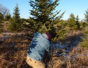 North Shore Christmas tree traditions