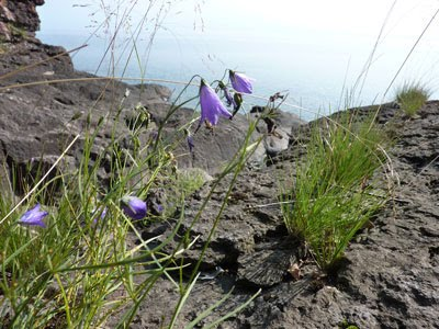 Harebells 'round the world