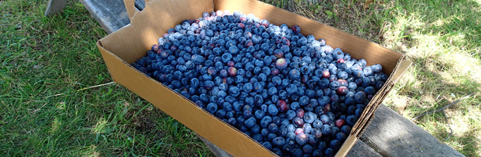 Get picking: it's blueberry season