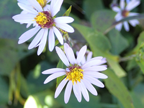 October-blooming asters in logged area of SHT.